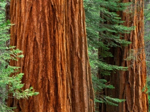 Sequoia-close-up